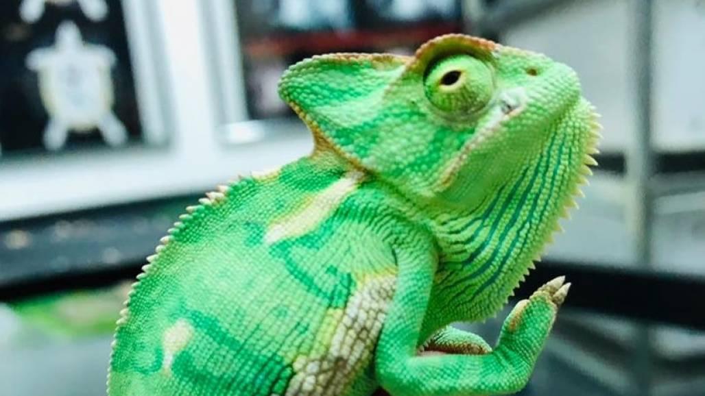camaleão (Projeto Selva Viva)