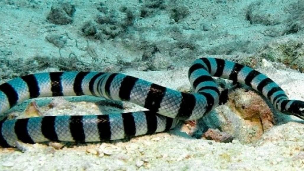 Cobra Marinha  (Site AdmiravelCurioso)