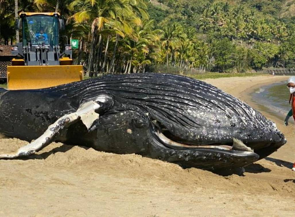baleia morta em ilhabela (Reprodução)